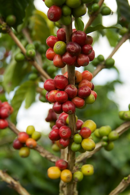 Colombia - Coffee Triangle 049 - coffee beans