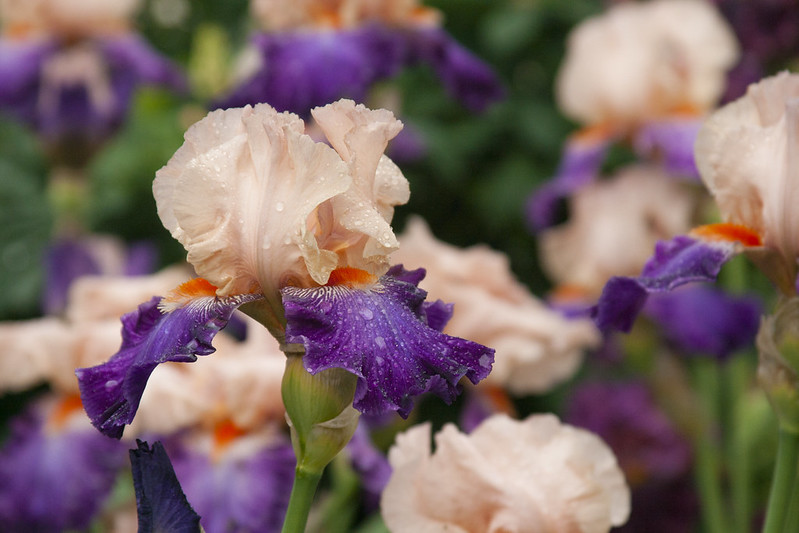purple and peach iris 3