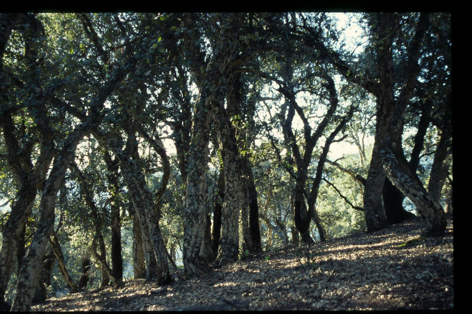 Maroc oriental - Forêt de chênes du Rif