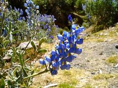 shrub, flower, plant, wildflower, flora, meadow, bluebonnet,