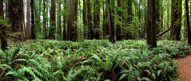 365/365 ~ Stout Grove #redwood #trees #panorama #california #statepark #green