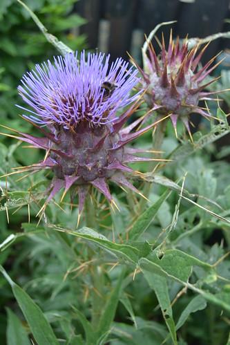CYNARA cardunculus Chelsea Physic Garden Form