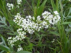 flower, plant, herb, anthriscus, wildflower, flora, produce,