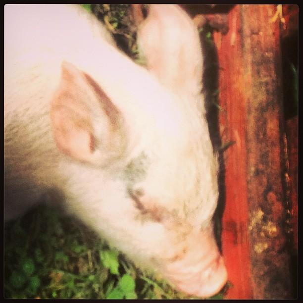 Sleeping piggy #detroit #pig #animals
