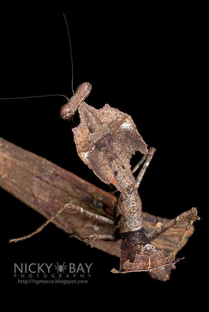 Dead Leaf Mantis (Deroplatys sp.) - DSC_3094
