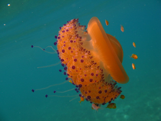 Medusa gialla 1