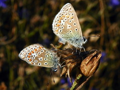 Common Blue (Polyommatus icarus) mating pair
