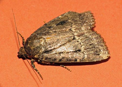 2297/98 Copper/Svensson's Underwing - Amphipyra pyramidea/berbera svenssoni