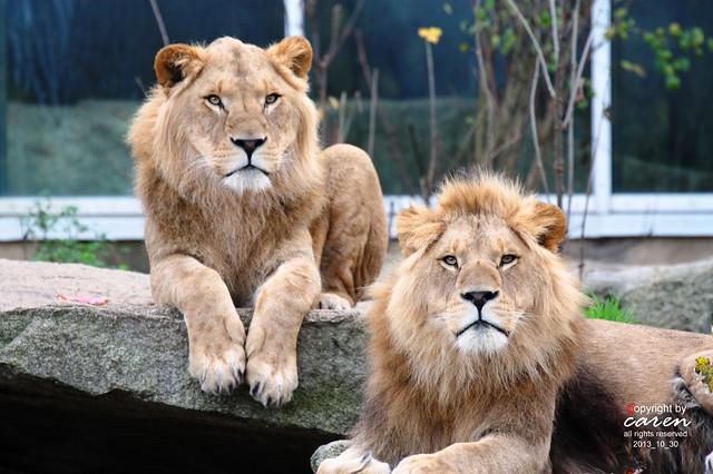 Afrikanische Löwen Bantou&Bandele 2013_10_30 325