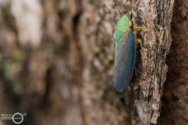 Green Planthopper