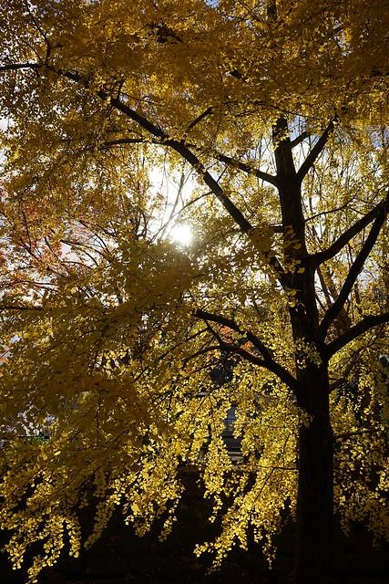 銀杏と木洩れ日