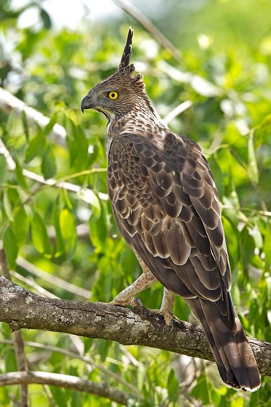 Changeable Hawk Eagle Sri Lanka 2013-11-27