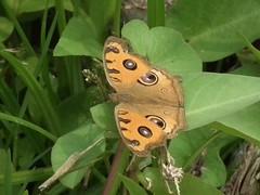 野蓮池畔,彩蝶輕舞飛揚。圖片來源:曾昭銘