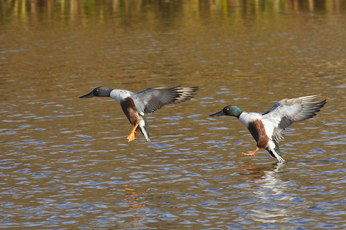Northern Shovelers Coming Down
