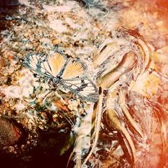 Butterfly & water