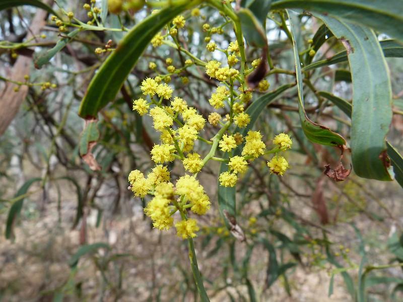 Acacia deformis D Hill  EC