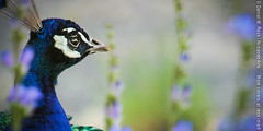 Peacock Incognito - Twitter Cover