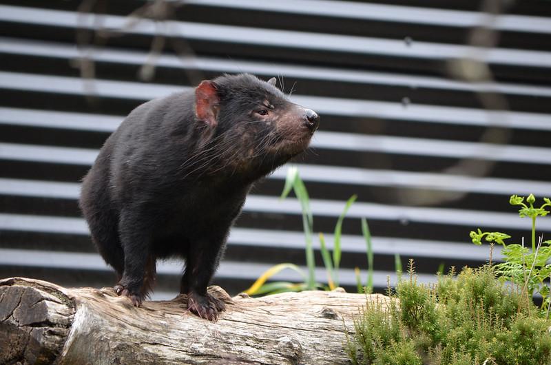 Tasmanian Devil - Devils @ Cradle - Cradle Mountain - Tasmania