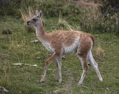 deer(0.0), white-tailed deer(0.0), musk deer(0.0), gazelle(0.0), animal(1.0), mammal(1.0), fauna(1.0), vicuã±a(1.0), guanaco(1.0), wildlife(1.0),