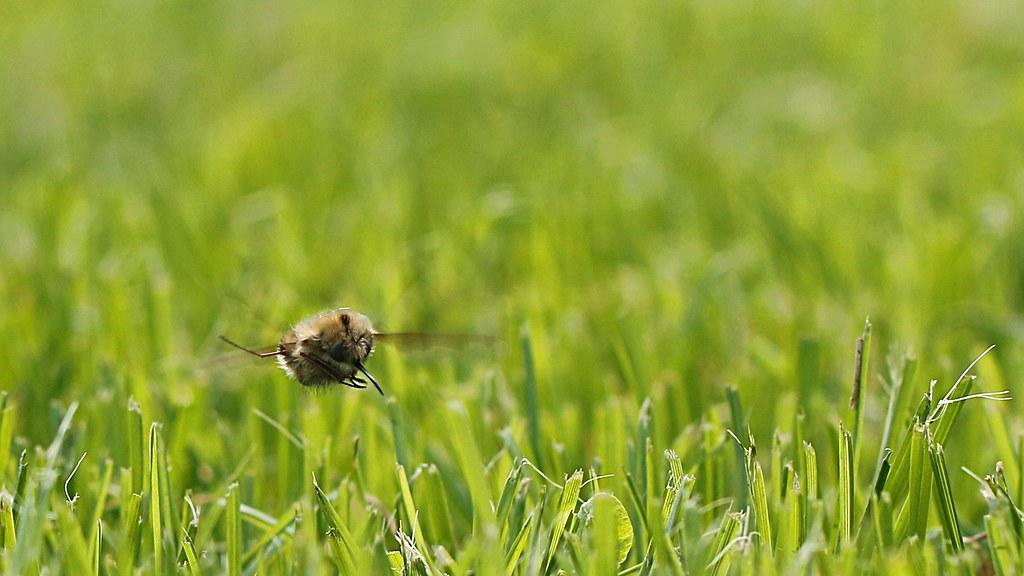 Croisement d'une mouche et d'un poussin... 13651017745_dcabeb31b5_b