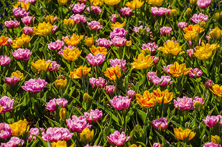 Tulipa 'Double Price', 'Monsella'; 6397