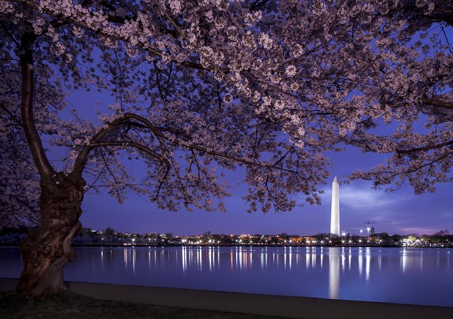Cherry Blossoms Before Dawn. (Sunrise 6:04am)