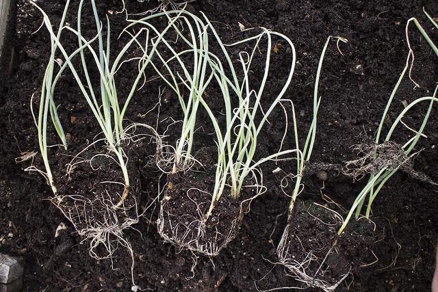 Seedling Planting Spring 2014_19