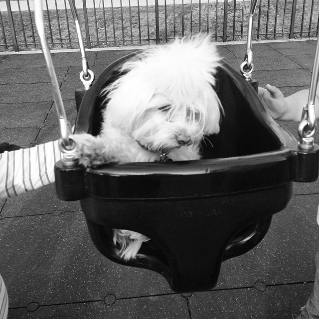 Titi Beth would not be happy she took it like a champ. #maltese #doginswing @l1lyluv
