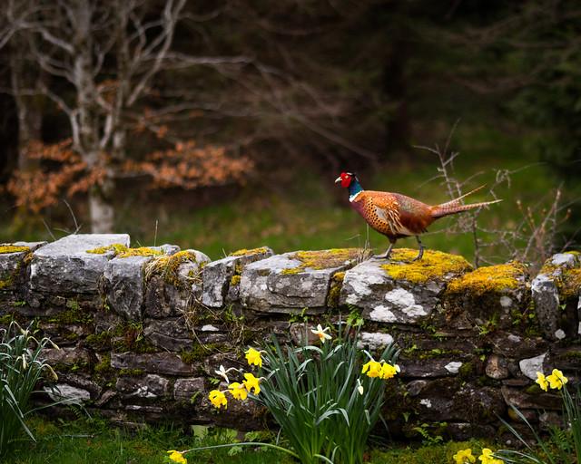 Pheasant Pronounce Prancer definition/mea...