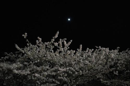内野の夜桜 2014