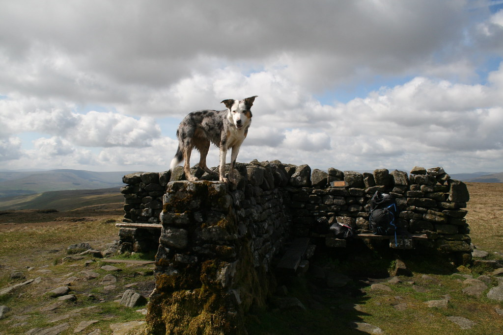 Jet on Great Shunner Fell summit shelter