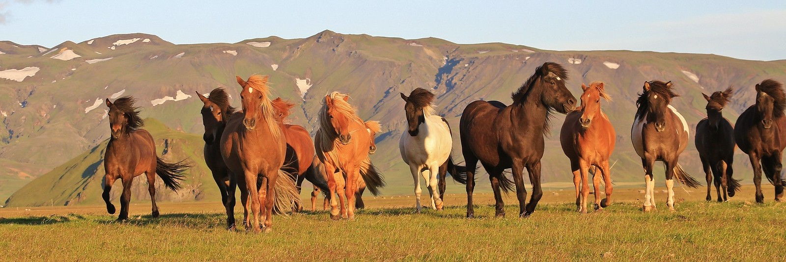 Icelandic horses in the evening sun