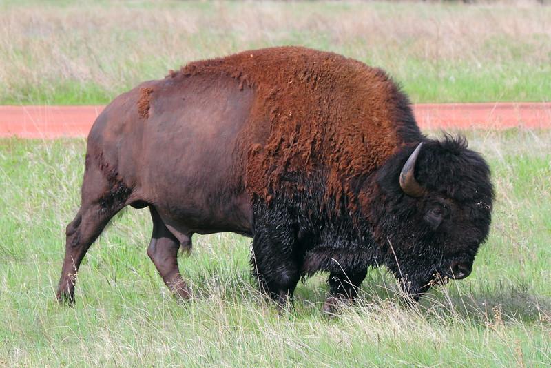 IMG_9735 Bison