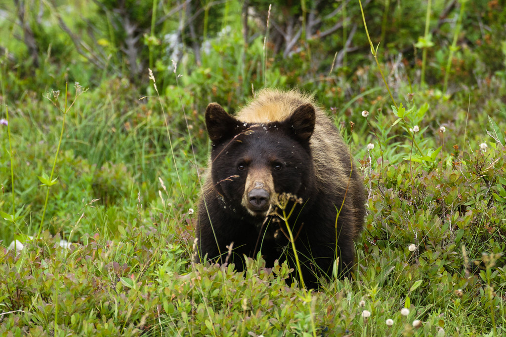 A black bear with brown fur dines on huckleberries along the Skyline Trail in the Paradise area of Mount Rainier National Park
