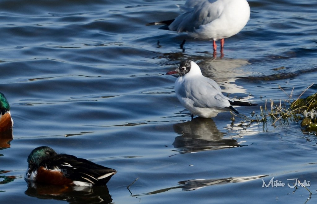 Black-headed Gull [Gaviota Reidora]