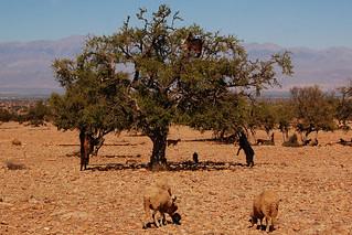 Ziegen auf Bäumen