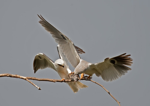 White tailed kites food exchange