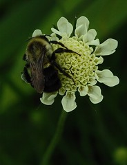 Solitary Bee on Giant Yellow Scabiosa