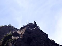 Scandola : un balbuzard pêcheur dans son nid