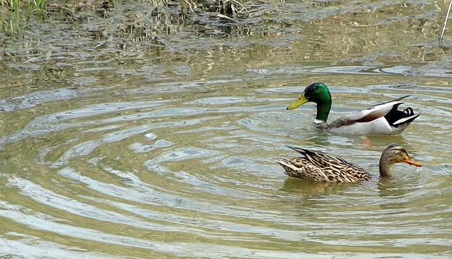 ducks-cuyahoga