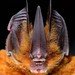 Tomes's sword-nosed bat - Photo (c) José Gabriel  Martínez Fonseca, all rights reserved