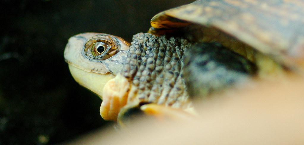 Blanding's turtle (Emys blandingii)