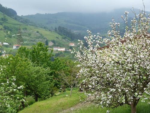 Manzanos en flor a las afueras de Gijón