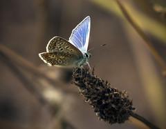 Common Blue at Wembury