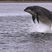 moray firth dolphin by dave bull1