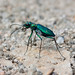 Dispirited Tiger Beetle - Photo (c) Ken-ichi Ueda, some rights reserved (CC BY-NC)