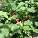 Small photo of Abutilon Vodoo