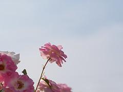 Rose, Harunomai, バラ, 春の舞,