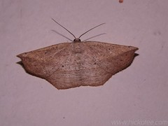 Geometer Moth - possibly Eusarca sp. - Family Geometridae