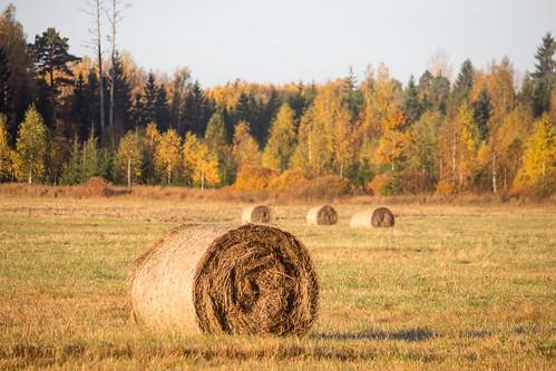 autumn latvia strawbale rudens salmiruļļos